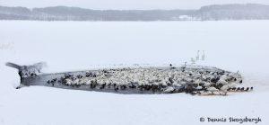 7100 Lake Kutcharo, Tundra Swans, Hokkaido, Japan