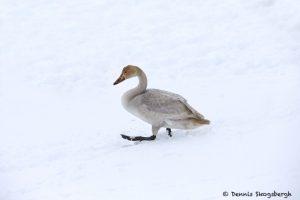 7101 Lake Kutcharo, Immature Tundra Swan (Cygnus columbianus), Hokkaido, Japan