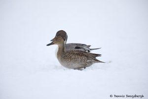 7104 Lake Kutcharo, Northern Pintail Ducks (Anas acuta), Hokkaido, Japan