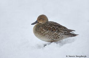 7105 Lake Kutcharo, Female Northern Pintail Duck (Anas acuta), Hokkaido, Japan