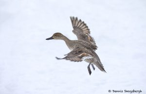 7106 Lake Kutcharo, Female Northern Pintail Duck (Anas acuta), Hokkaido, Japan