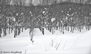 7109 Winter Landscape, Biei, Hokkaido, Japan