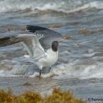 7313 Laughing Gull (Leucophaeus atricilla), Bolivar Peninsula, Texas
