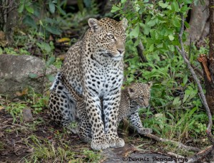 4895 African Leopard with Cub, North East Serengeti, Tanzania