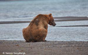 6850 Kodiak Bear, Katmai National Park, Alaska