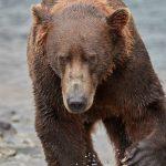 5882 Kodiak Bear, Katmai National Park, Alaska
