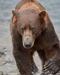 5882 Kodiak Bear, Katmai National Park, Alaska
