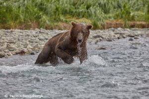6844 Kodiak Bear, Katmai National Park, Alaska