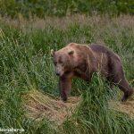 6834 Kodiak Bear, Katmai National Park, Alaska
