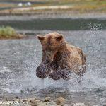 6841 Kodiak Bear, Katmai National Park, Alaska