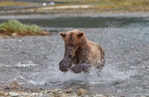 6841 Kodiak Bear, Katmai National Park, Alaska