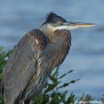 6808 Great Blue Heron (Ardea herodias), Hagerman NWR, Texas