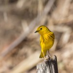 2421 Male Yellow Warbler (Setophaga petechia)