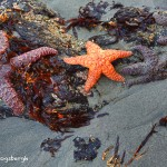 1240 Sea stars, Sunrise, Bandon Beach, Bandon, OR