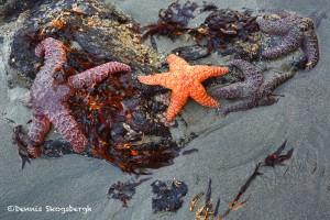 1240 Sea stars, Sunrise, Bandon Beach, Bandon, OR