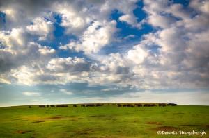 1611 Buffalo Herd