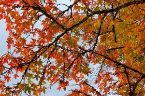 1766 Autumn Color, Sweet Gum