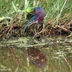 1045 Green Heron (Butorides virescens)