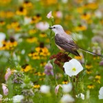 1086 Scissor-tailed Flycatcher, Hagerman National Wildlife Refuge, TX