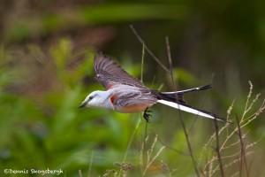 1087 Scissor-tailed Flycatcher, Hagerman National Wildlife Refuge, TX