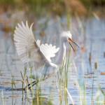 1120 Snowy Egret (Egretta thula), Displaying Plumage