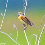 1122 Dickcissel, Hagerman National Wildlife Refuge, TX