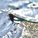 1138 Eurasian Magpie, Yellowstone National Park