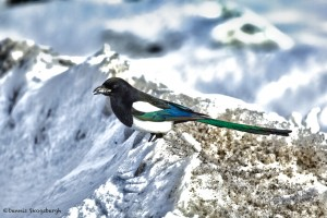 1138 Eurasian Magpie, Yellowstone National Park