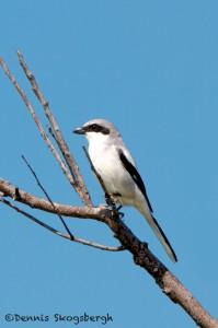 1139 Loggerhead Shrike, Hagerman National Wildlife Refuge, TX