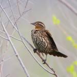 1144 Female, Red-winged Blackbird, Hagerman National Wildlife Refuge, TX