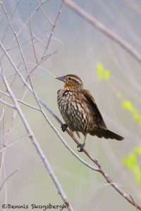 1144 Female, Red-winged Blackbird, Hagerman National Wildlife Refuge, TX