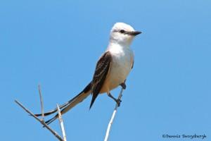 1150 Scissor-tailed Flycatcher, Hagerman National Wildlife Refuge, TX