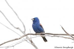 1151 Blue Grosbeak, Hagerman National Wildlife Refuge, TX