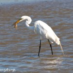 1152 Great White Egret, Feeding