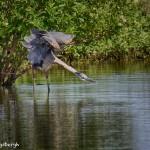 1193 Great Blue Heron Guarding Territory
