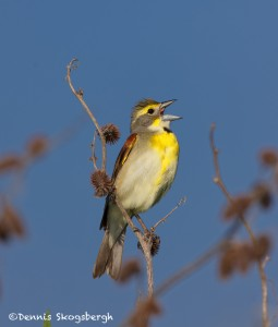 1202 Dickcissel, Hagerman National Wildlife Refuge, TX