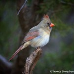 1219 Female Northern Cardinal, Palo Duro Canyon State Park, TX