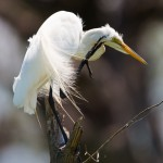 1267 Great Egret