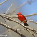 1335 Vermillion Flycatcher, Block Creek Natural Area, Kendall County, TX