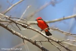 1335 Vermillion Flycatcher, Block Creek Natural Area, Kendall County, TX
