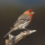 1337House Finch