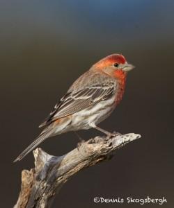 1337House Finch