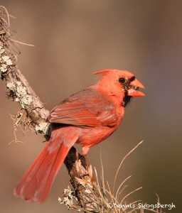 1341 Male Northern Cardinal. Block Creek Natural Area, Kendall County, TX