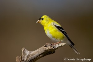 1342 American Goldfinch, Block Creek Natural Area, Kendall County, TX