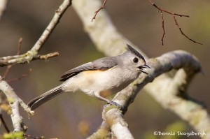 1343 Tufted Titmouse, Block Creek Natural Area, Kendall County, TX