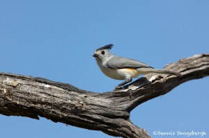 1349 Tufted Titmouse, Block Creek Natural Area, Kendall County, TX