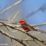 1350 Vermillion Flycatcher, Block Creek Natural Area, Kendall County, TX