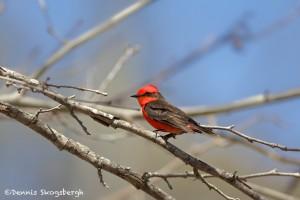1350 Vermillion Flycatcher, Block Creek Natural Area, Kendall County, TX