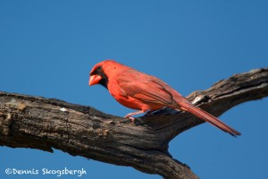 1355 Male Northern Cardinal, Block Creek Natural Area, Kendall County, TX