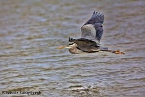 1391 Great Blue Heron, Hagerman National Wildlife Refuge, TX